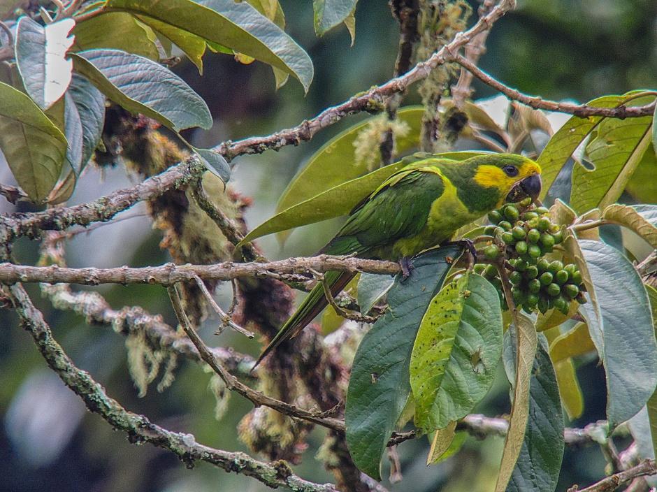 Yellow-eared Parrot_Ognorhynchus icterotis_Colombia Birdwatch-2